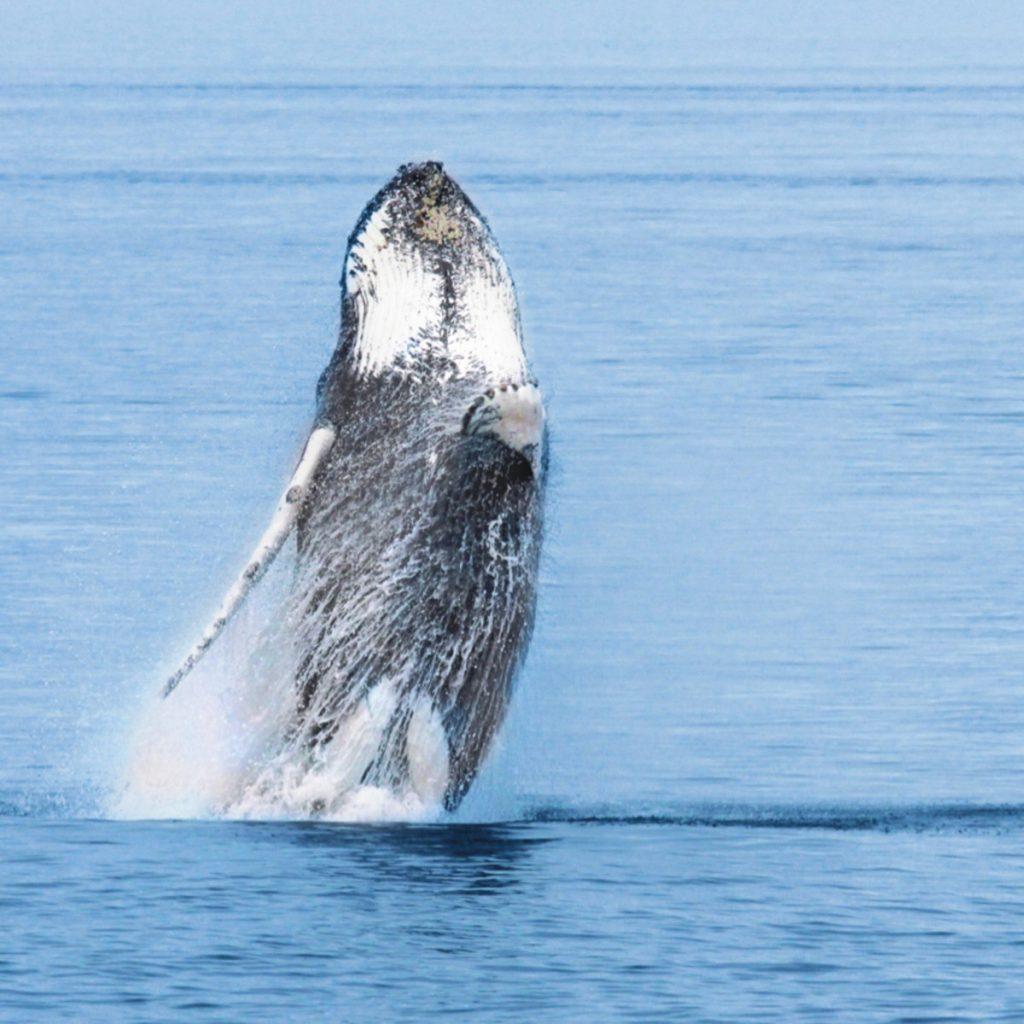 Aventure hélico-baleines